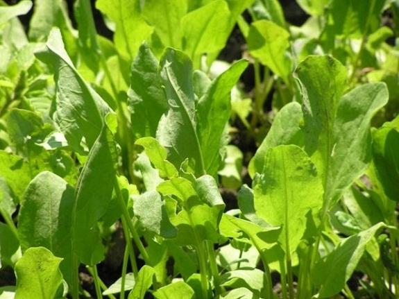 Польза и вред шпината при беременности